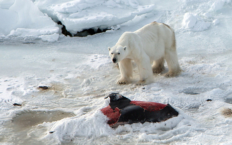 Polar bears 'have started eating dolphins due to climate change'   GarryRogers Biosphere News   Scoop.it