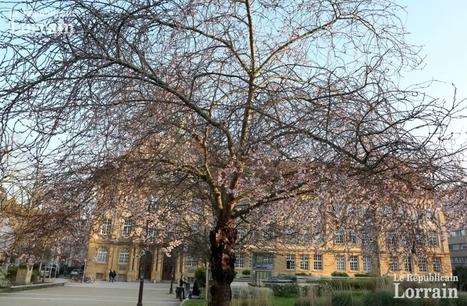 Metz : pourquoi les prunus fleurissent-ils en décembre ? | Les colocs du jardin | Scoop.it