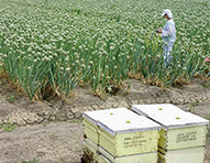 Declining Bee Populations Pose A Threat to Global Agriculture - Yale Environment 360 | Earthday News Everyday | Scoop.it