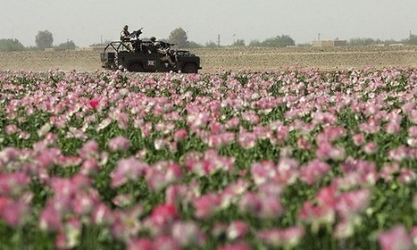 Afghanistan's poppy farmers plant record opium crop, UN report says | Alcohol & other drug issues in the media | Scoop.it