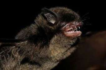 Black mouse-eared bat goes green: First case of a fruit-eating bat in the ... - Phys.Org | Bat Biology and Ecology | Scoop.it
