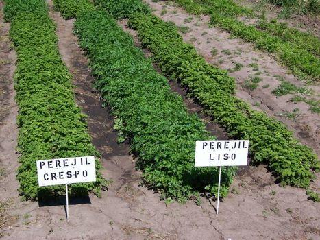 Agricultura. El cultivo del perejil. 1ª parte. | El perejil y sus usos tradicionales y medicinales | Scoop.it