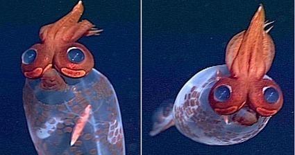 ¿Un calamar que parece un loro con gafas? Taonius borealis | Agua | Scoop.it