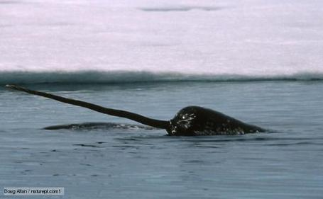 BBC Nature - Narwhal videos, news and facts | this curious life | Scoop.it