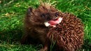 Video -- World's Weirdest: Hedgehogs Love Poisons -- National Geographic | Agua | Scoop.it