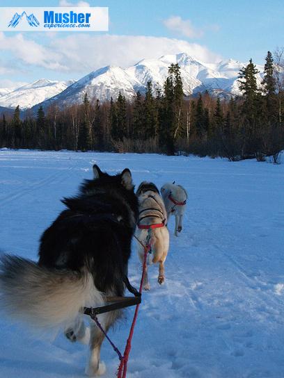 Husky sibérien ou Malamute d'Alaska? | Musher Experience: chien ... | Le sport avec un chien - Sport with dogs | Scoop.it