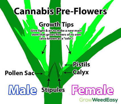 Cannabis Pre-Flowers: How to Reveal Gender Sooner | Grow Weed Easy | Grow Weed Easy | Scoop.it
