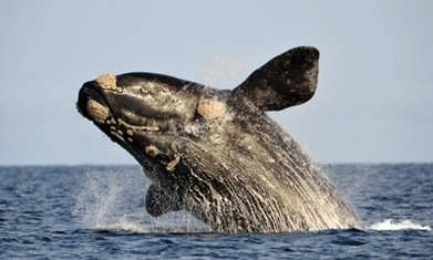 Whale watching…from space | The living world | Scoop.it