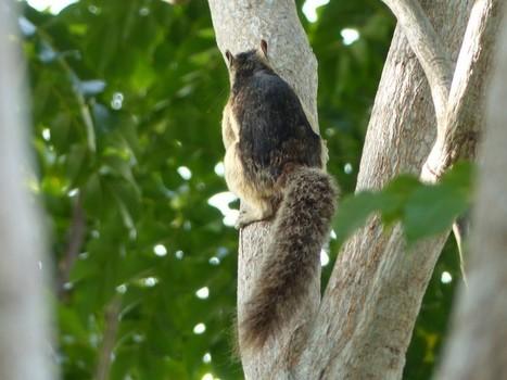 Photo de Sciuridé : Écureuil multicolore - Sciurus variegatoides - Variegated squirrel | Fauna Free Pics - Public Domain - Photos gratuites d'animaux | Scoop.it