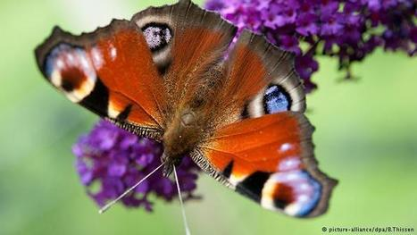 Butterfly species decline 'dramatically' in Germany | Global Ideas | DW.COM | 30.03.2016 | Farming, Forests, Water, Fishing and Environment | Scoop.it