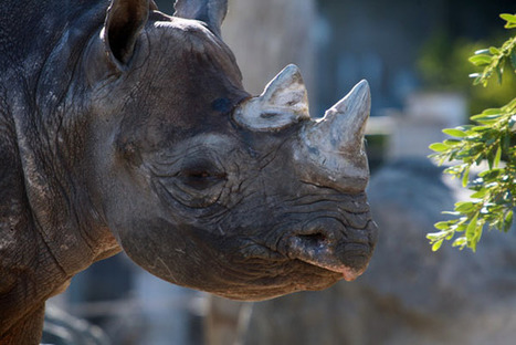 South African reserve poisons rhinos' horns to deter poaching | Kruger & African Wildlife | Scoop.it