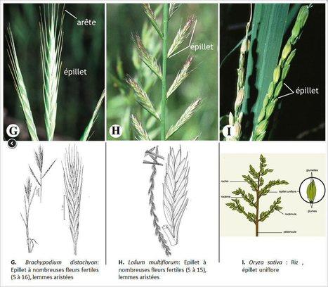 (FR) - Poaceae glossaire | jpc83.com | Glossarissimo! | Scoop.it