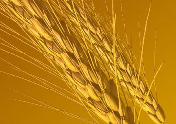 Modern Wheat Really Isn't Wheat At All | Health Supreme | Scoop.it
