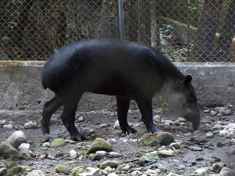 Photo de Tapiridé : Tapir de Baird - Tapirus bairdii - Baird's tapir | Fauna Free Pics - Public Domain - Photos gratuites d'animaux | Scoop.it