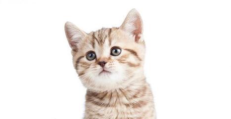Willie ou le chat le plus intelligent du monde ? | meltyBuzz | CaniCatNews-actualité | Scoop.it