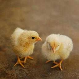 Estrategias Genéticas para la Producción de Aves y cerdos - Alianza Superior   Estrategias Genéticas para la Producción de Aves   Scoop.it