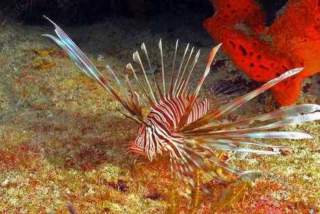 Combating lionfish is an ongoing struggle - KeysNet   ScubaObsessed   Scoop.it