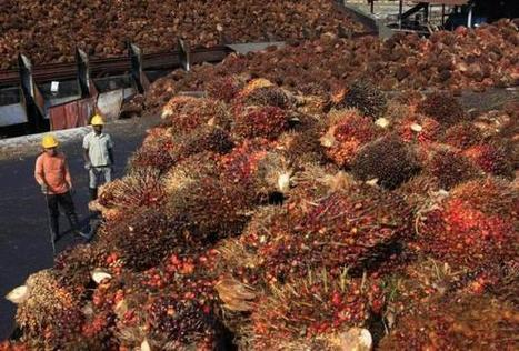 Will sustainable palm oil surge exclude small farmers? | sustainablity | Scoop.it