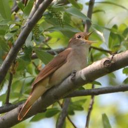 Un logiciel permet d'identifier efficacement les sons d'oiseaux - Ornithomedia | Musical coding | Scoop.it