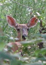 California deer population declines as habitat disappears | Broad Canvas | Scoop.it