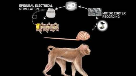 Wireless brain-to-spine connection gets paralyzed primates walking | Energy, Infrastructure & Technology | Scoop.it