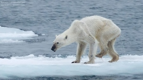 Photographer of 'horribly thin' polar bear hopes to inspire climate change fight | Climate change challenges | Scoop.it