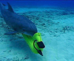 US Navy to replace mine-detecting dolphins with underwater robots | Blue Planet | Scoop.it