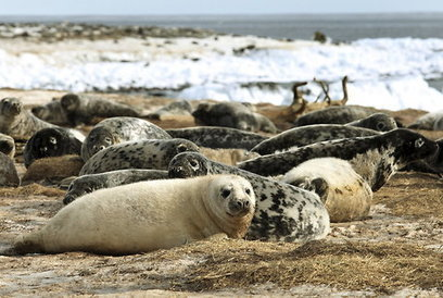 Smarting Over Cod Shortages, Fishermen Blame Seals | Sustainable Futures | Scoop.it