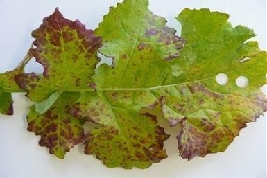 Beet virus wreaks havoc on ES crops - Agriculture - Cropping - Grains - Farm Weekly   Beet western yellows virus   Scoop.it