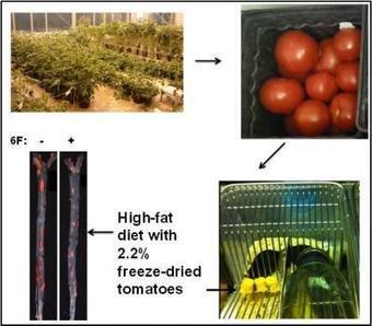 New Tomatoes Mimic Actions of Good Cholesterol | leapmind | Scoop.it