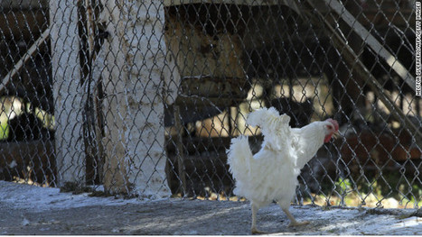 Mexico slaughters 1.2 million chickens infected with bird flu   Virology News   Scoop.it