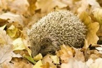 Caring For A Sick Or Orphaned Hedgehog   Helping  Domestic Animals And Wildlife   Scoop.it
