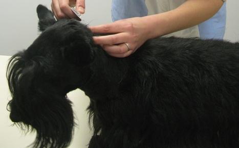 Comment appliquer une pipette antiparasitaire à son chien ? | CaniCatNews-actualité | Scoop.it