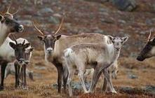 """80 percent decline in Caribou blamed on big industry 