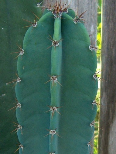Cereus repandus – Giant Club Cactus, Hedge Cactus, Peruvian Apple Cactus   World of Succulents   Cacti (Cactus)   Scoop.it