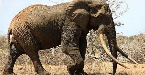 One of the World's Largest Elephants Killed by Ivory Poachers in Kenya | Digital-News on Scoop.it today | Scoop.it