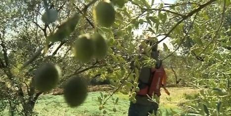 La récolte des olives a démarré dans le Gard - France 3 Languedoc-Roussillon | oléiculture | Scoop.it