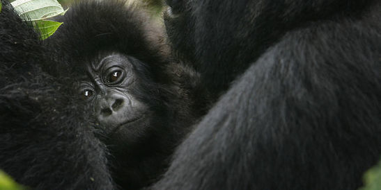 Le gorille oriental, le plus grand primate du monde, en « danger critique d'extinction »