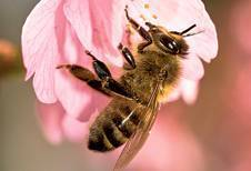 Decline of honey bees now a global disaster, says United Nations | Biodiversity IS Life  – #Conservation #Ecosystems #Wildlife #Rivers #Forests #Environment | Scoop.it