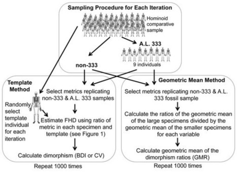 From Lucy to Kadanuumuu: balanced analyses of Australopithecus afarensis assemblages confirm only moderate skeletal dimorphism   Aux origines   Scoop.it