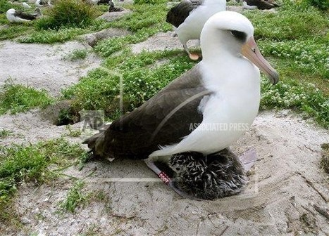 Albatross named Wisdom astounds scientists by producing chick at age 62 | Merveilles - Marvels | Scoop.it