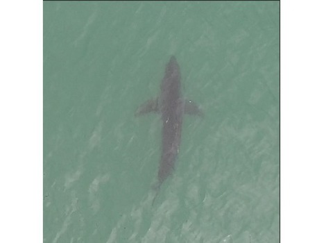 As Great Whites Patrol the Surf, a Drone Patrols the Sharks | The Robot Times | Scoop.it