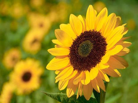 Top 10 Easiest Flowers To Grow In Your Garden - BoldSky | Health and wellness | Scoop.it