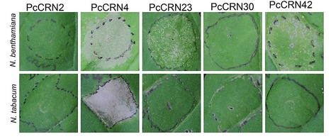 A Virulence Essential CRN Effector of  Phytophthora capsici  Suppresses Host Defense and Induces Cell Death in Plant Nucleus | Plant pathogens and pests | Scoop.it