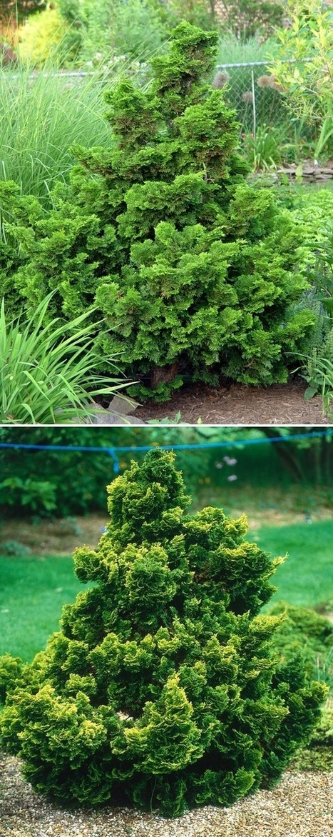 Dwarf Hinoki Cypress Trees | Backyard Gardening | Scoop.it