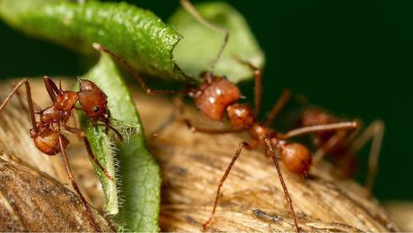 Leafcutter ants use prehensile legs to help chop up leaves | Rainforest EXPLORER:  News & Notes | Scoop.it