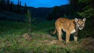 Researcher resigned to ending decade-long hunt for Nova Scotia cougar | Nova Scotia Hunting | Scoop.it