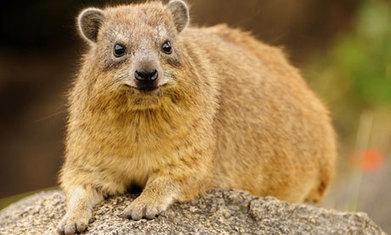How the rock hyrax's toilet habits left climate scientists a 55,000-year trail | Climate change challenges | Scoop.it