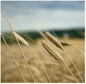 Einkorn Grain & Flour | The Authentic Food & Wine Experience | Scoop.it