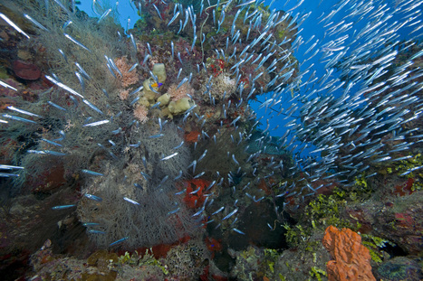 Wiring Up the Caribbean: Designing Marine Protected Areas for Coral Reef Connectivity | Coral reef ecosystems resilience | Scoop.it